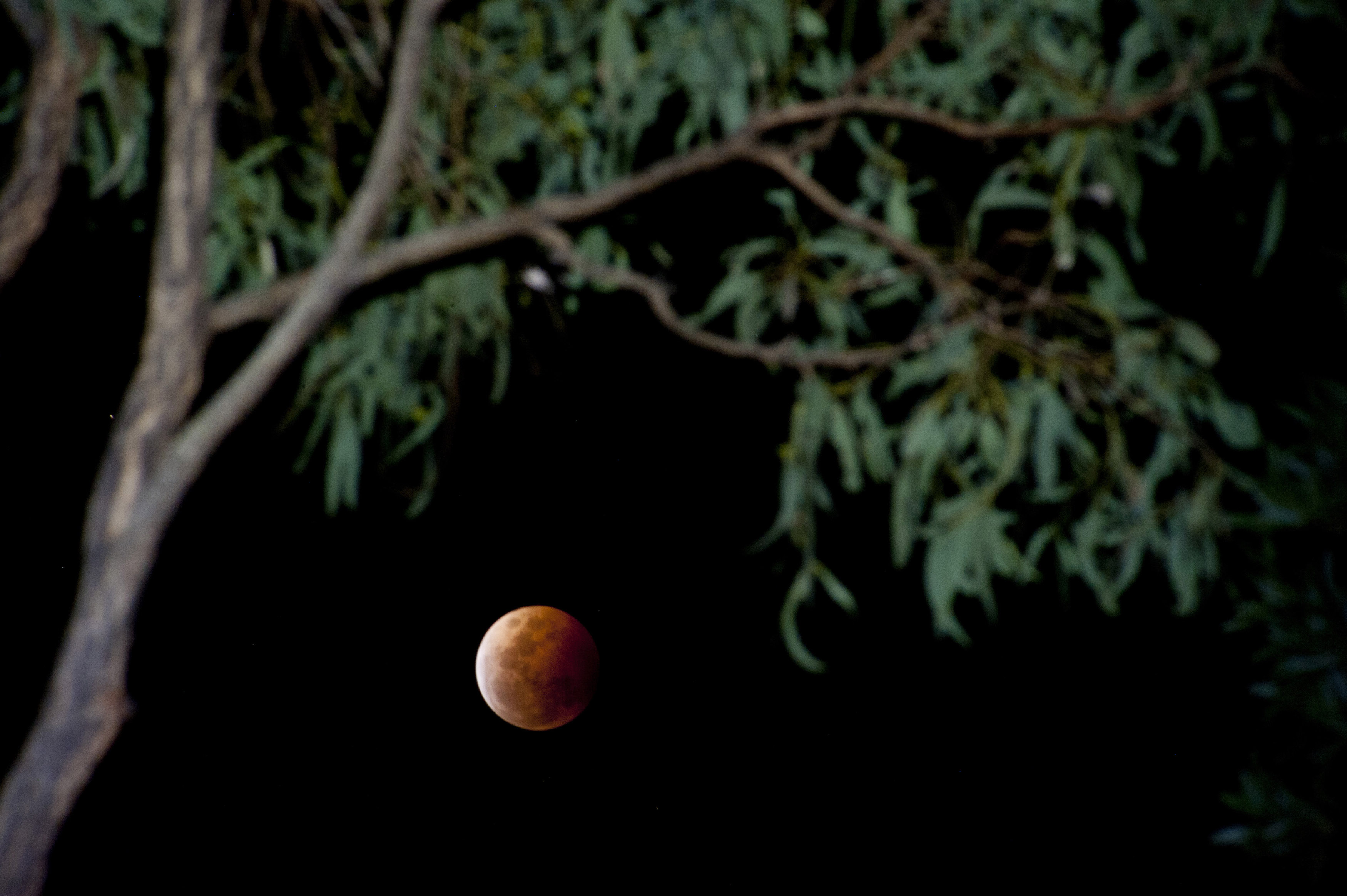 Almost eclipsed copper colored moon in a dark sky caused by the earths shadow viewed below a tree branch