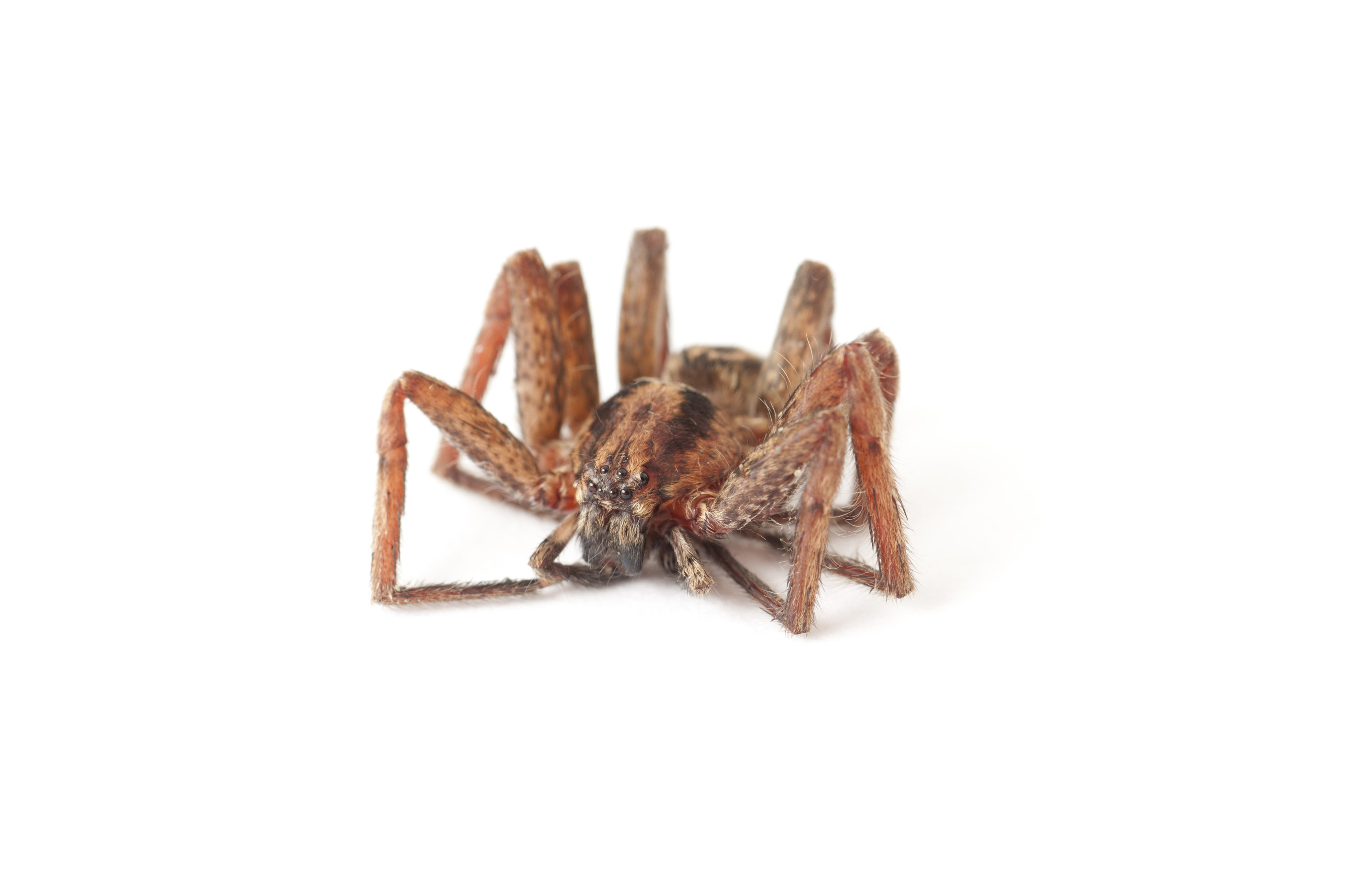Macro of a spider on white with its legs folded up underneath itself showing its 8 eyes