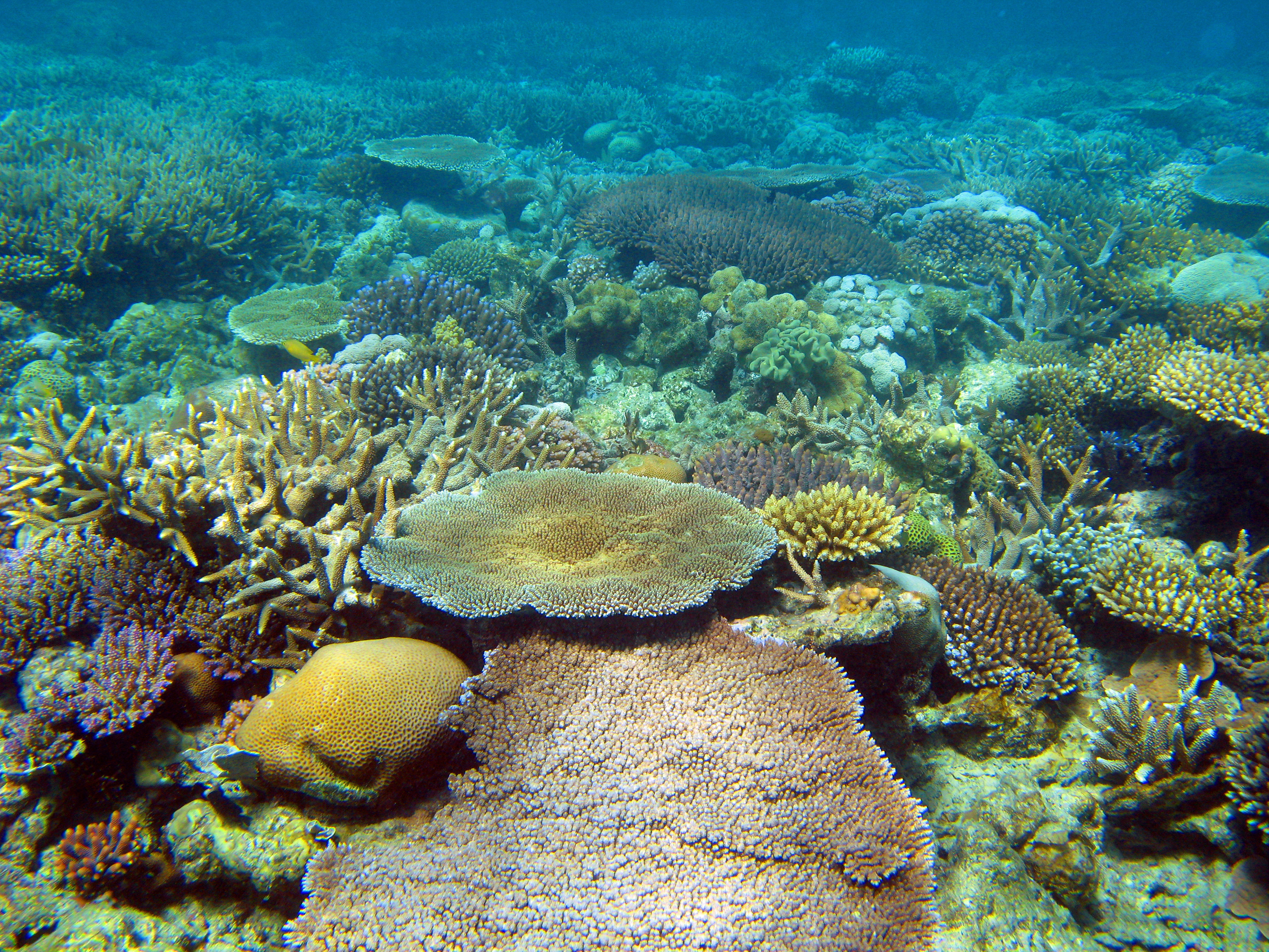 a coral garden of assorted corals in shallow water on a reef