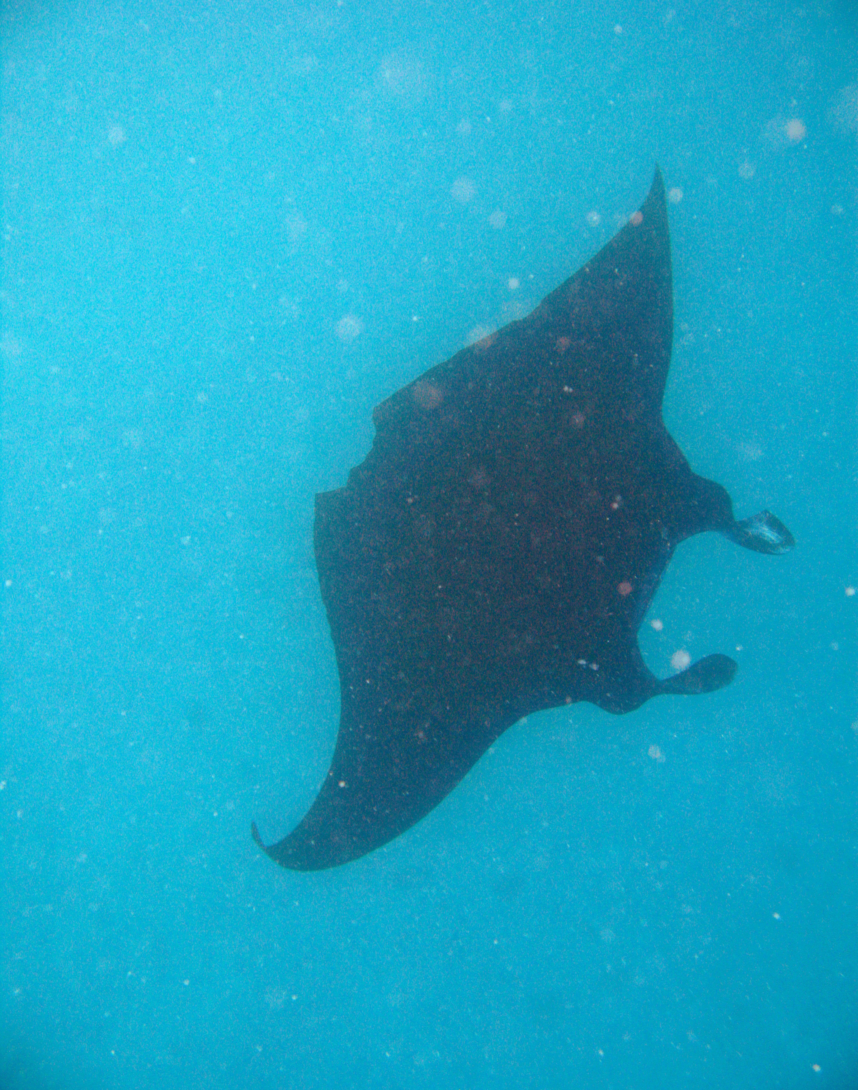 Manta ray swimming underwater in a turquoise sea with its graceful large pectoral fins outspread for feeding
