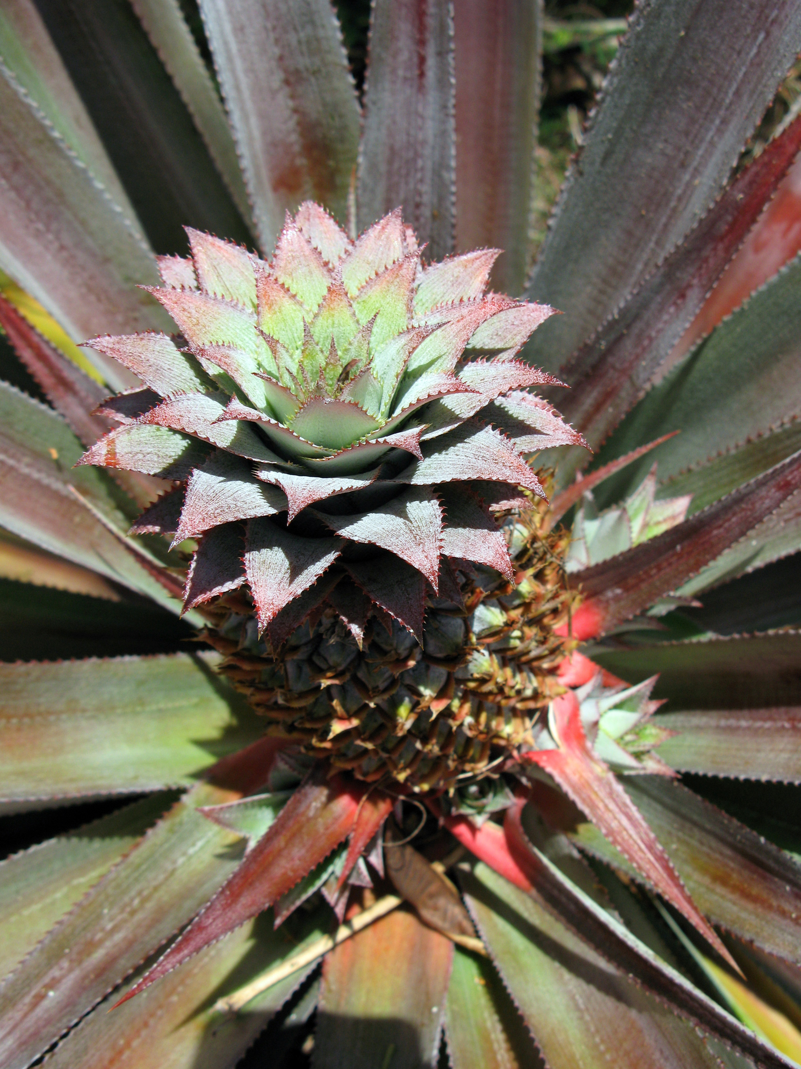 Pineapple, Ananas comosus, growing on the plant viewed from above with its multiple fruit of coalesced berries