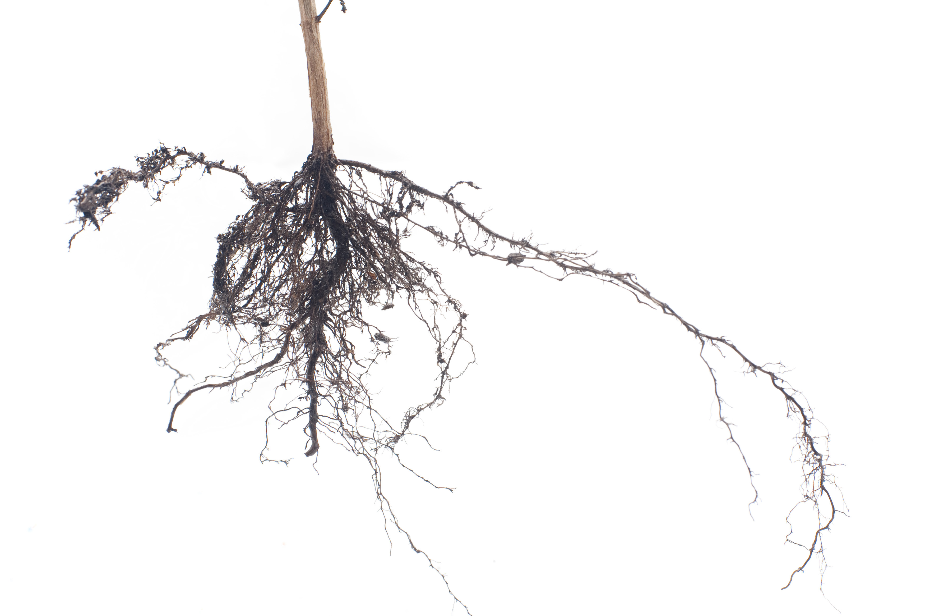Fibrous root system on a plant held up against a white background showing the finely branching roots for absorbing moisture and nutrients