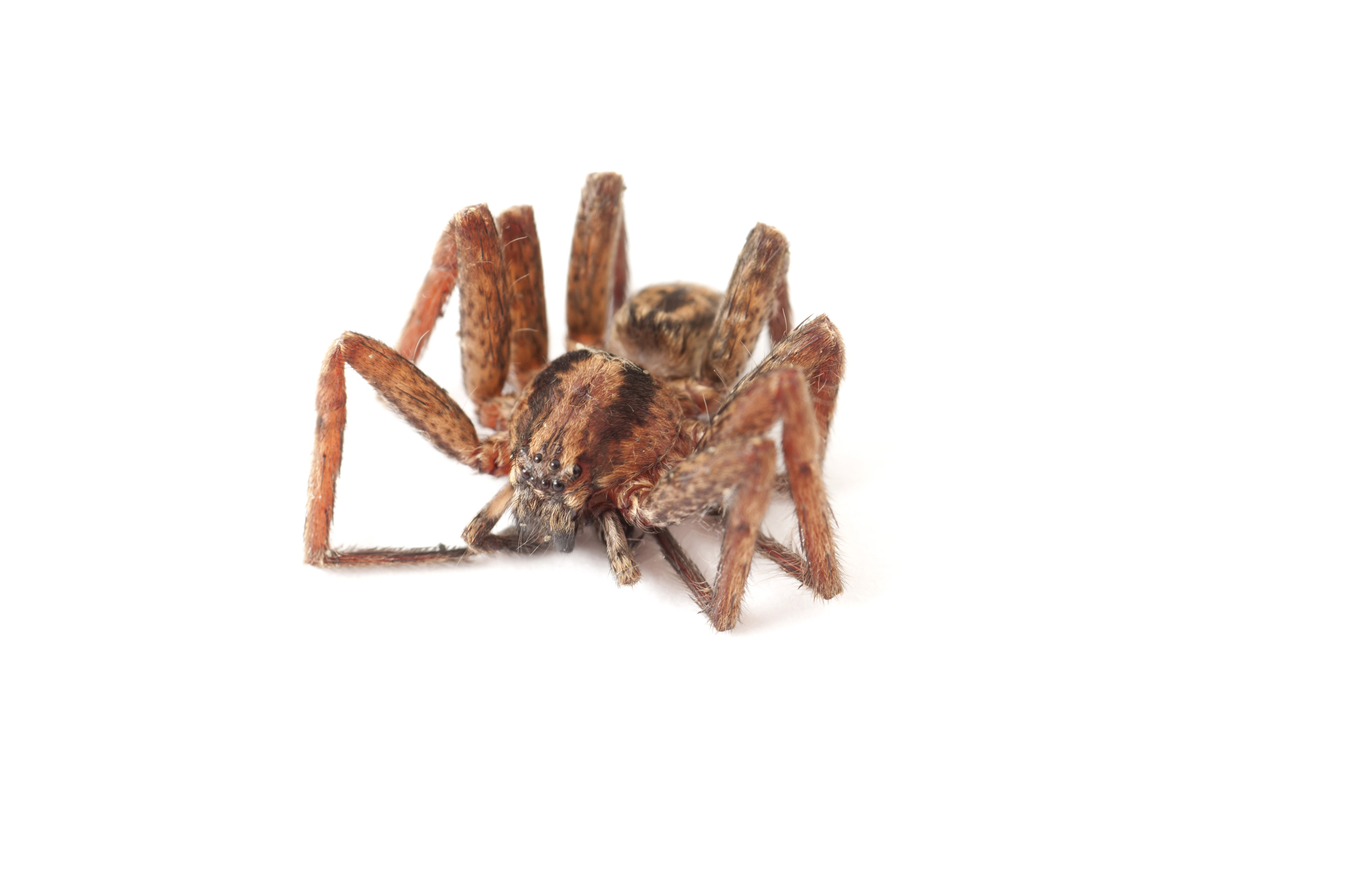 spider with its legs retracted and curled up under the body on a white background. eight simple eyes can be seen on the front of the cephalothorax