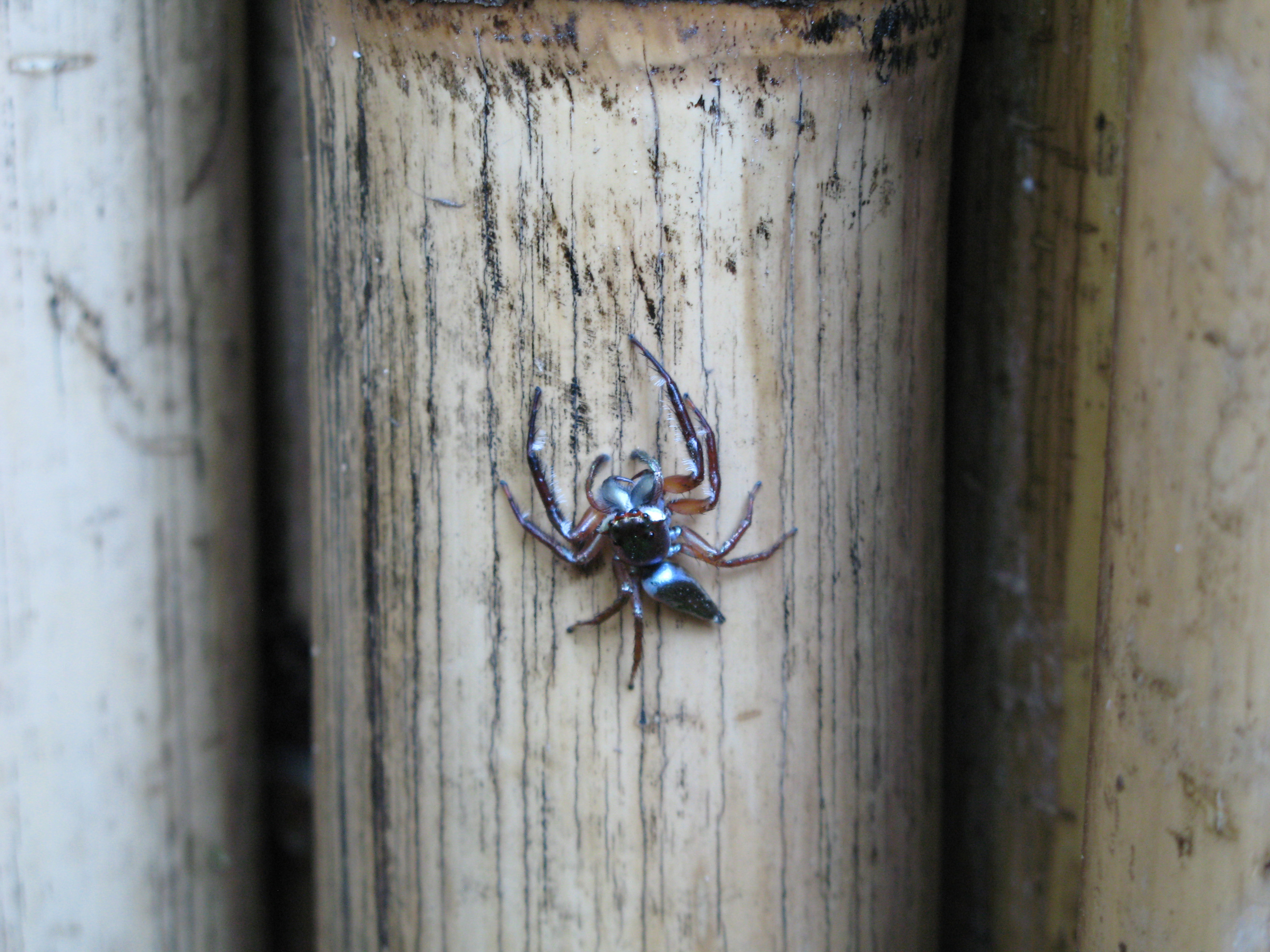 a white tailed spider native to eastern australia
