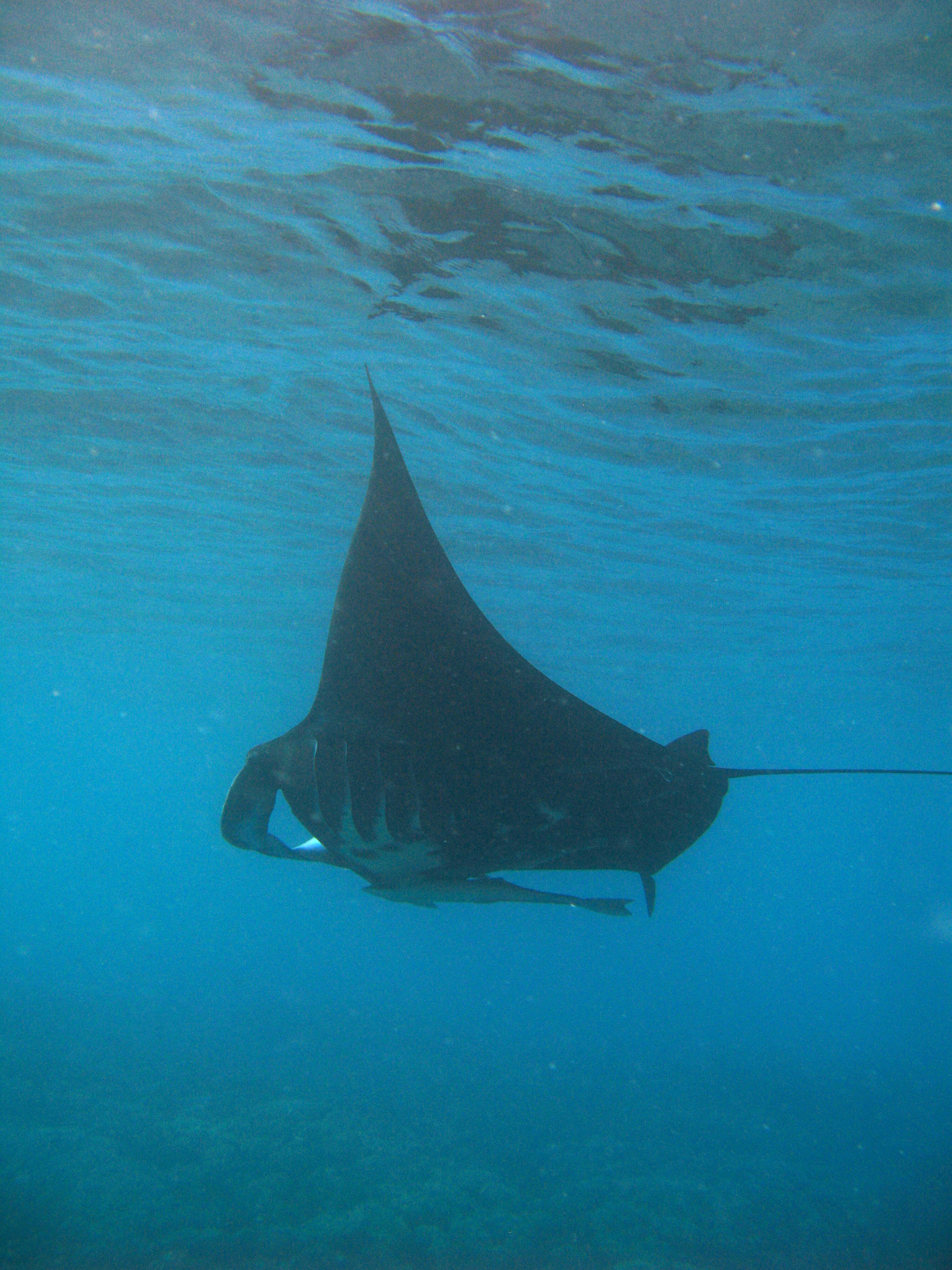 Underwater view of a swimming manta ray with extended pectoral fins and its long tail trailing behind. outstretched cephalic fins at the front are used to deflect plankton in the water for feeding. A remora 'sucker fish' is seen hanging on the bottom of the animal