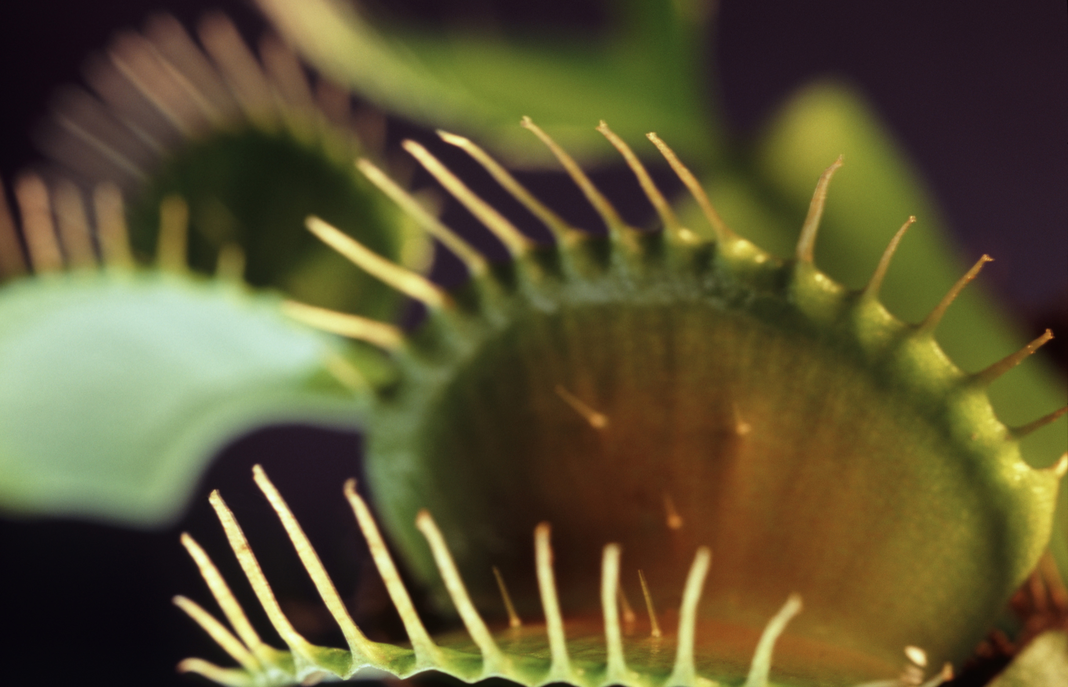 Close up detail of the bristles on the margines of the Venus Fly Trap leaves used to trap insects on which the plant preys