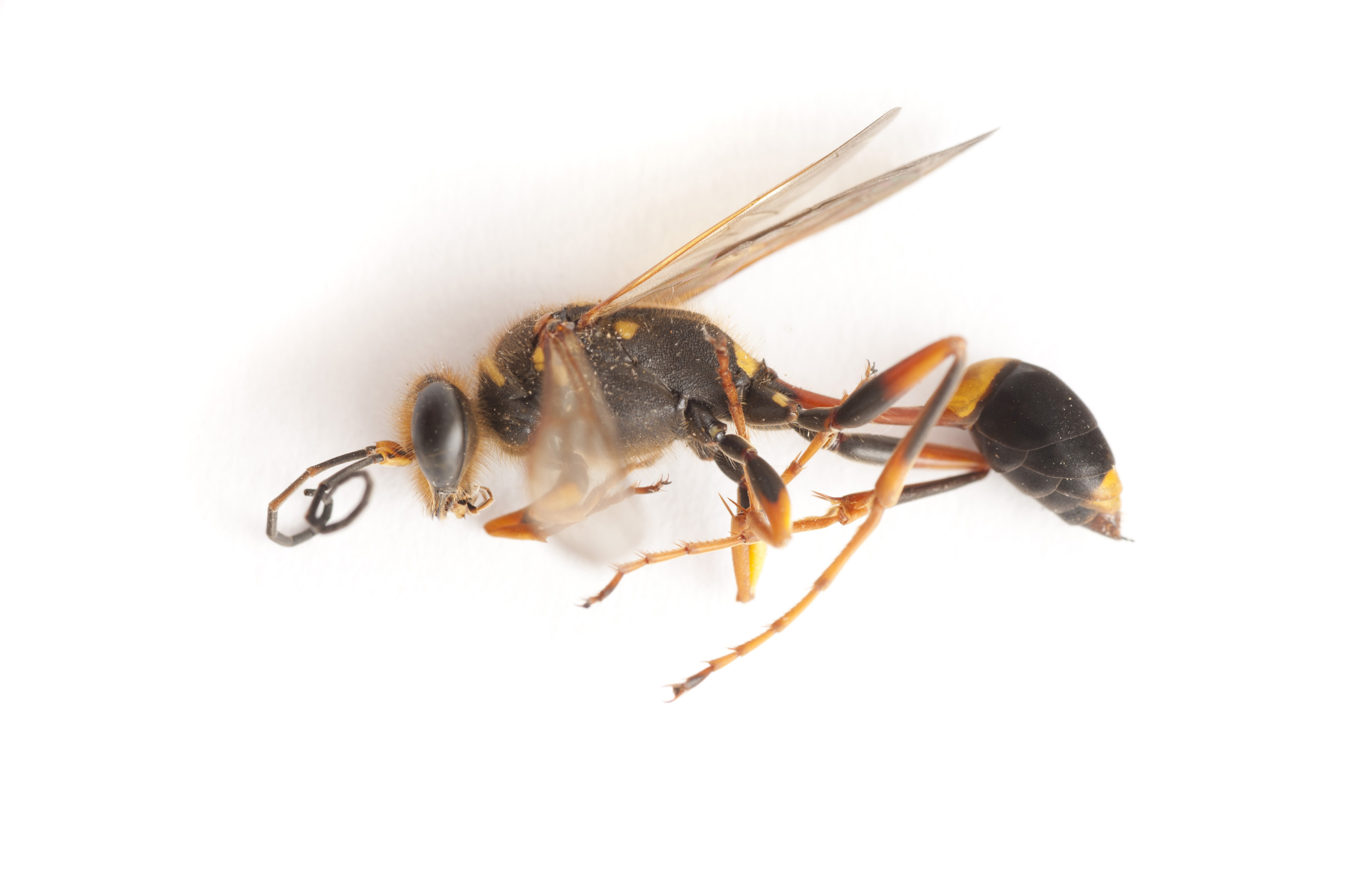 Close up side view of a dead wasp on white showing detail of the wings, thorax, legs and antennae